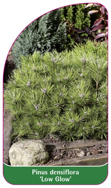 Pinus densiflora 'Low Glow', 68 x 120 mm