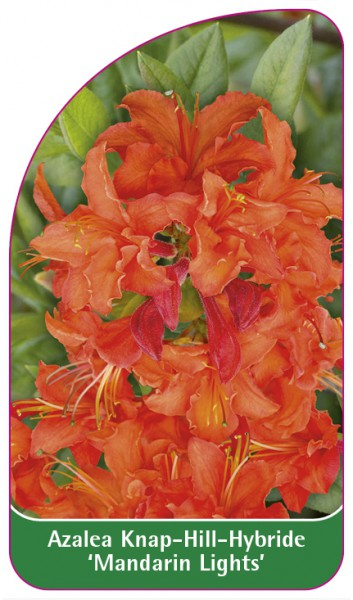 Azalea Knap-Hill-Hybride 'Mandarin Lights', 68 x 120 mm