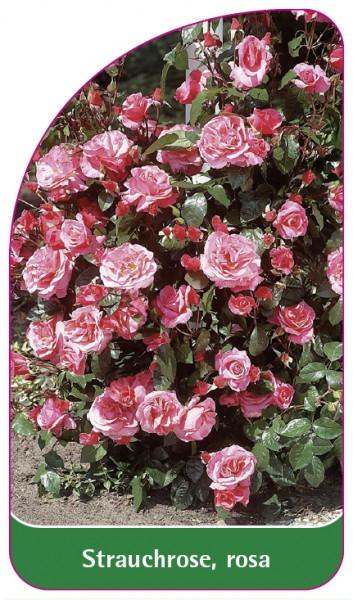 Strauchrose, rosa, 68 x 120 mm
