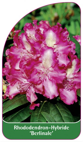Rhododendron-Hybride 'Berlinale', 68 x 120 mm