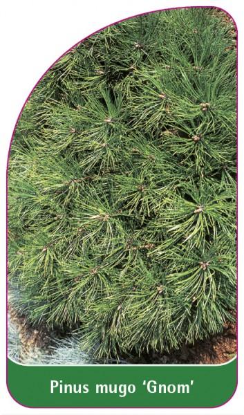 Pinus mugo 'Gnom', 68 x 120 mm