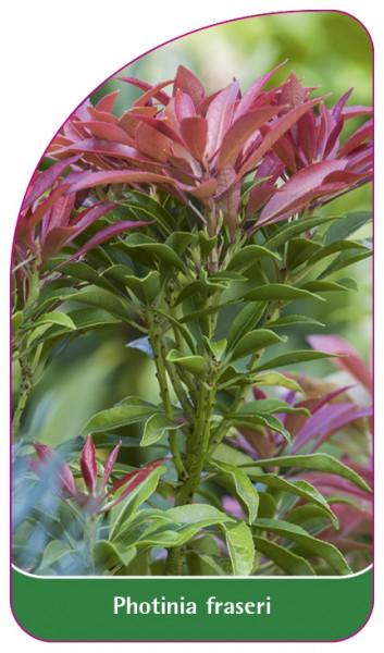 Photinia fraseri, 68 x 120 mm