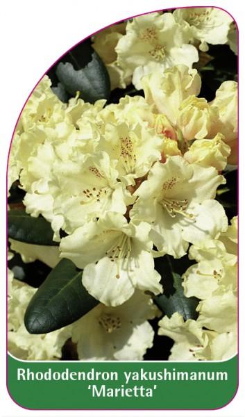 Rhododendron yakushimanum 'Marietta', 68 x 120 mm