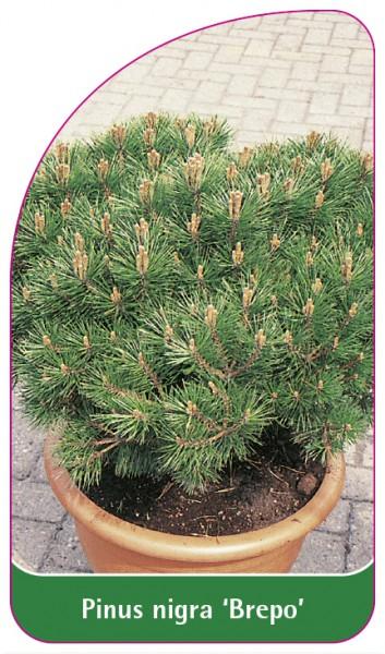 Pinus nigra 'Brepo', 68 x 120 mm