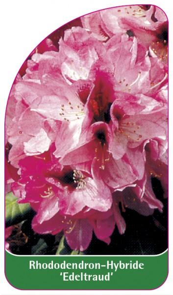 Rhododendron-Hybride 'Edeltraud', 68 x 120 mm