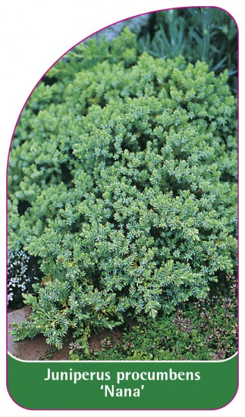 Juniperus procumbens 'Nana', 68 x 120 mm