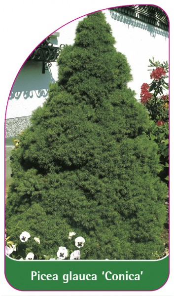 Picea glauca 'Conica', 68 x 120 mm