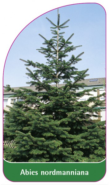 Abies normanniana, 68 x 120 mm