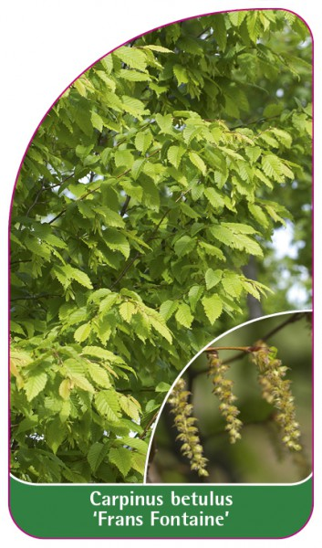 Carpinus betulus 'Frans Fontaine', 68 x 120 mm