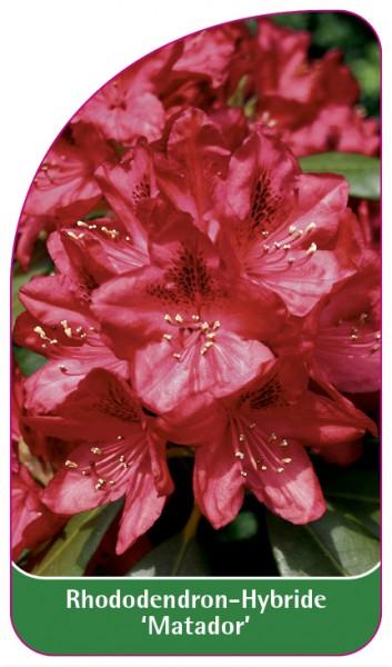 Rhododendron-Hybride 'Matador', 68 x 120 mm