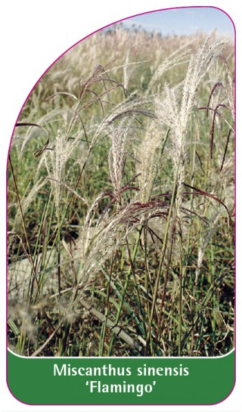 Miscanthus sinensis 'Flamingo', 68 x 120 mm
