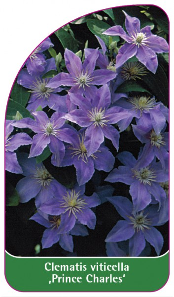 Clematis viticella 'Prince Charles', 68 x 120 mm
