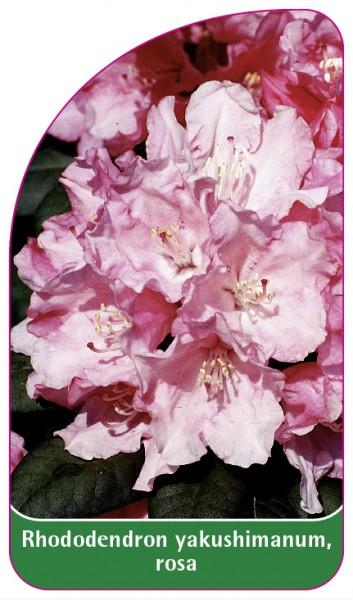 Rhododendron yakushimanum, rosa, 68 x 120 mm