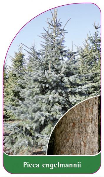 Picea engelmannii, 68 x 120 mm