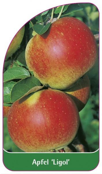 Apfel 'Ligol', 68 x 120 mm
