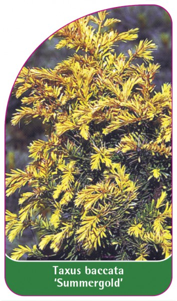 Taxus baccata 'Summergold', 68 x 120 mm