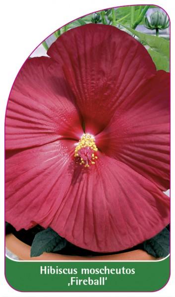 Hibiscus moscheutos ,Fireball', 68 x 120 mm