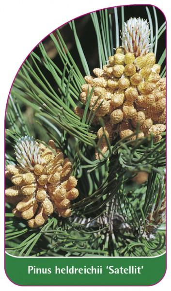 Pinus heldreichii 'Satellit', 68 x 120 mm