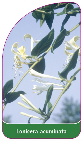 Lonicera acuminata, 68 x 120 mm