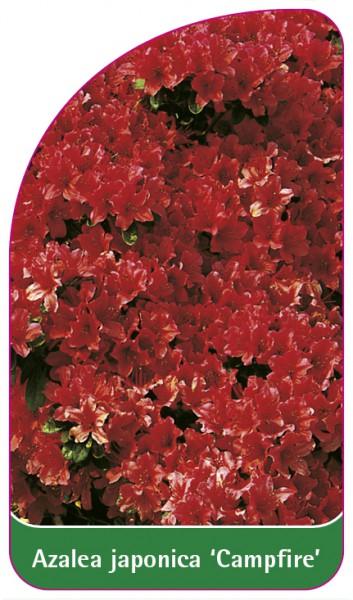 Azalea japonica 'Campfire', 68 x 120 mm