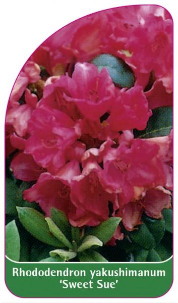 Rhododendron yakushimanum 'Sweet Sue', 68 x 120 mm