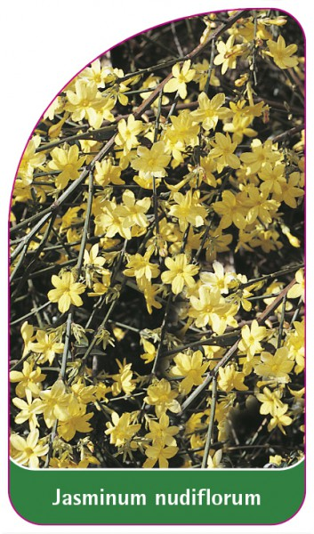 Jasminum nudiflorum, 68 x 120 mm