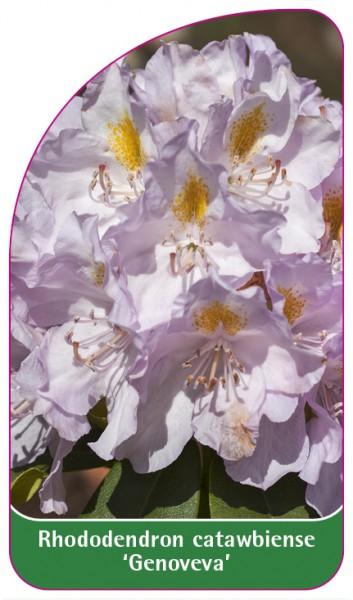 Rhododendron catawbiense 'Genoveva', 68 x 120 mm