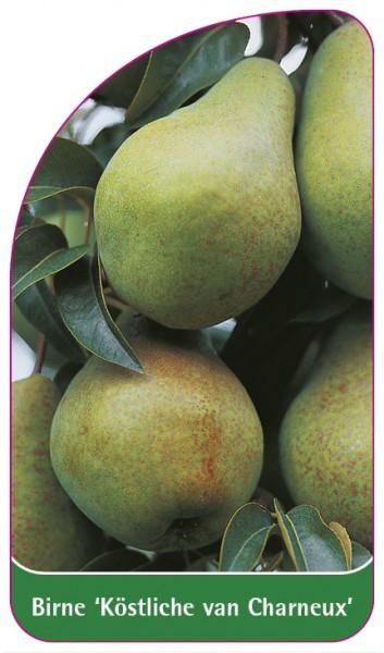 Birne 'Köstliche von Charneux', 68 x 120 mm