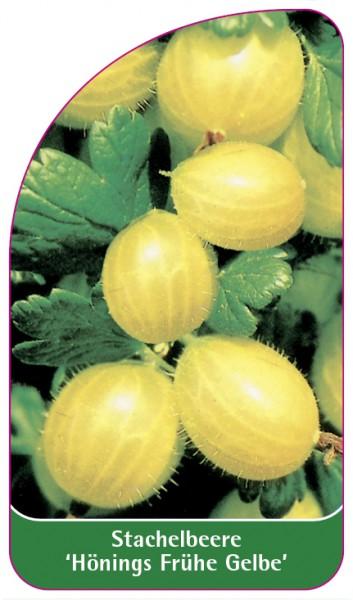 Stachelbeere 'Hönings Frühe Gelbe', 68 x 120 mm