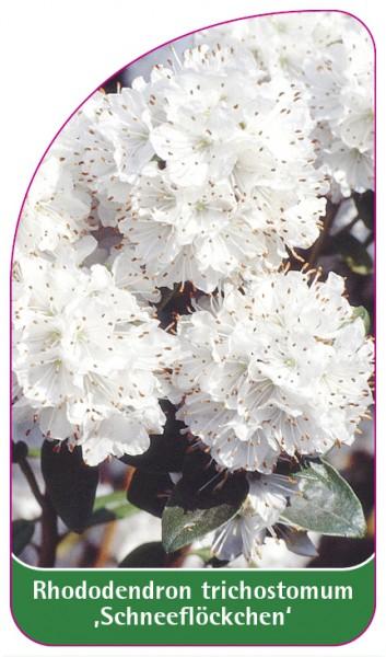 Rhododendron trichostomum ,Schneeflöckchen', 68 x 120 mm