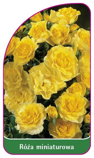 Róza miniaturowa, 52 x 90 mm
