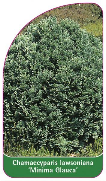 Chamaecyparis Iawsoniana 'Minima Glauca', 68 x 120 mm
