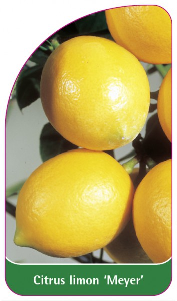 Citrus limon 'Meyer', 68 x 120 mm