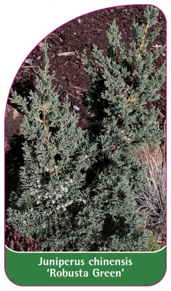 Juniperus chinensis 'Robusta Green', 68 x 120 mm