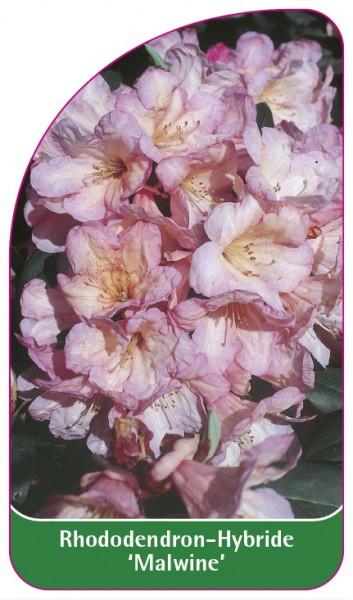 Rhododendron-Hybride 'Malwine', 68 x 120 mm
