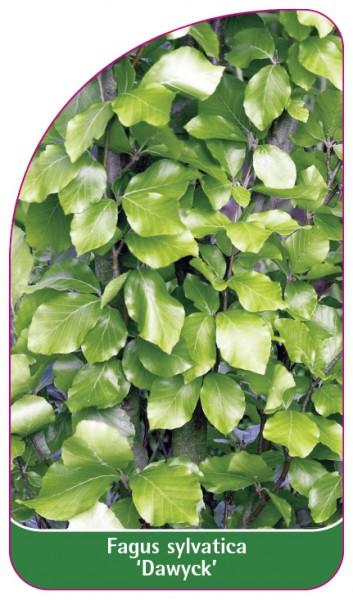 Fagus sylvatica 'Dawyck', 68 x 120 mm