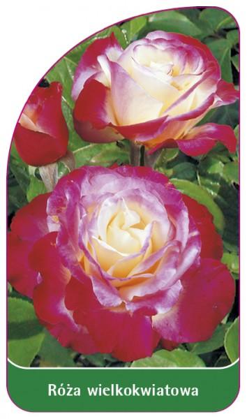 Róza wielkokwiatowa Nr. 231, 68 x 120 mm PL