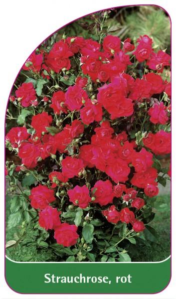 Strauchrose, rot, 68 x 120 mm