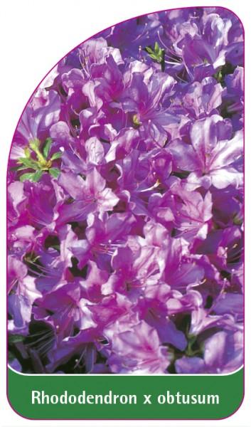 Rhododendron x obtusum, 68 x 120 mm