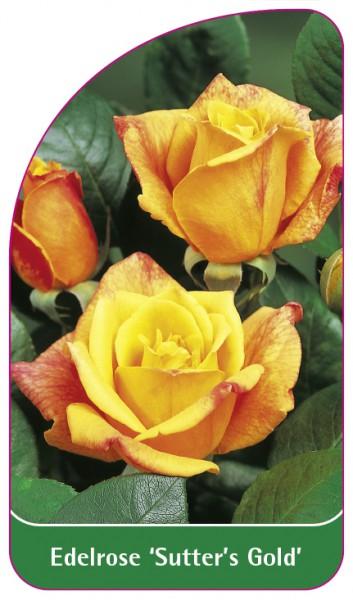 Edelrose 'Sutter's Gold', 68 x 120 mm