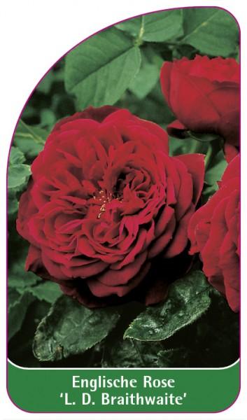 Englische Rose 'L. D. Braithwaite', 68 x 120 mm