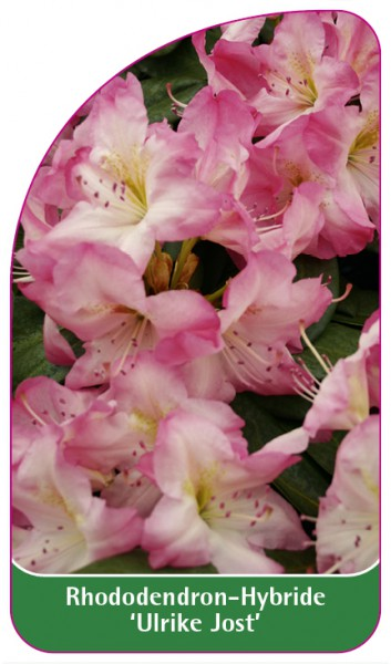 Rhododendron-Hybride 'Ulrike Jost', 68 x 120 mm