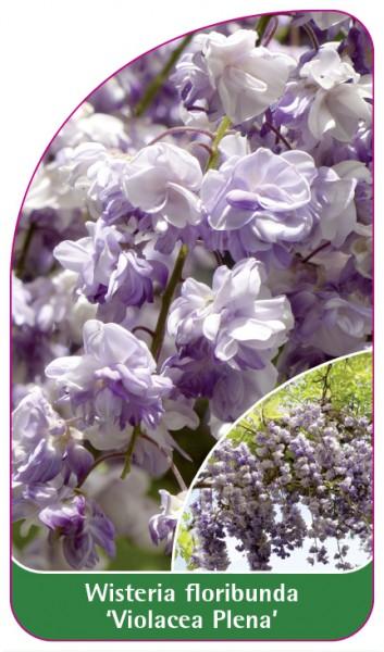 Wisteria floribunda 'Violacea Plena', 68 x 120 mm