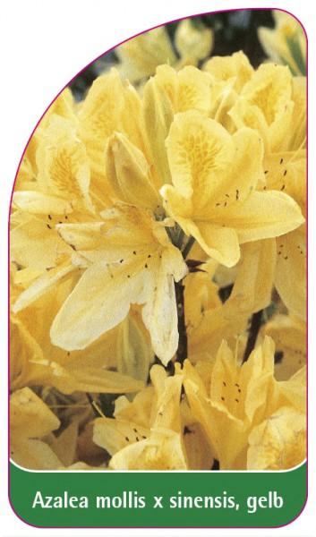 Azalea mollis x sinensis, gelb, 68 x 120 mm