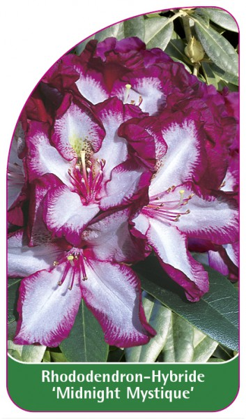 Rhododendron-Hybride 'Midnight Mystique', 68 x 120 mm