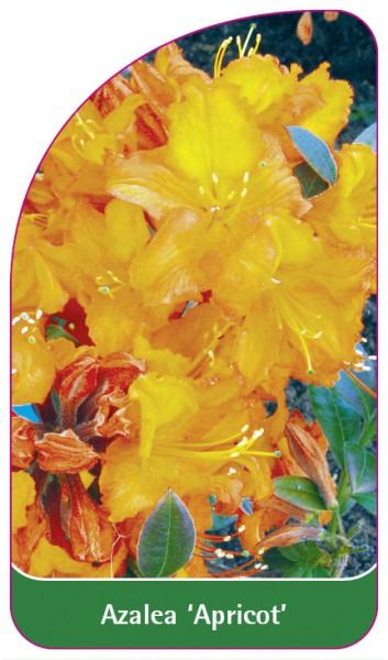 Azalea 'Apricot', 68 x 120 mm
