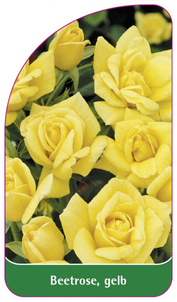 Beetrose, gelb, 68 x 120 mm