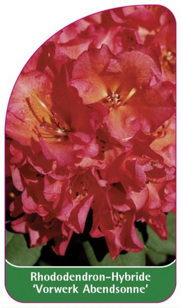 Rhododendron-Hybride 'Vorwerk Abendsonne', 68 x 120 mm