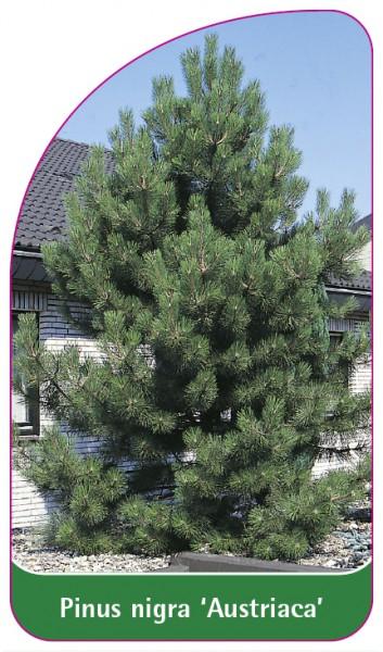 Pinus nigra 'Austriaca', 68 x 120 mm