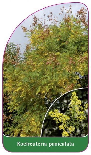 Koelreuteria paniculata, 68 x 120 mm